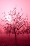 Pink Tone Bare Walnut Trees Stock Image