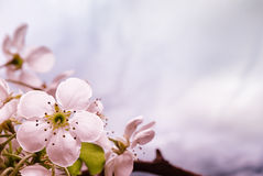 Pink tones Spring blossom Stock Photography