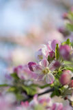 Pink tones Spring blossom Stock Image