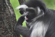 Black and White Colobus Monkey With His Mouth Open Royalty Free Stock Image