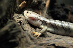 Pink-tongue skink Stock Image
