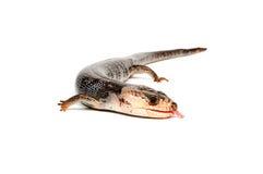 Pink-Tongue Skink (Hemisphaeridon gerrardi). Isolated on a white background stock image