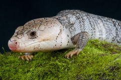 Pink-tongued skink / Cyclomorphus gerrardii Royalty Free Stock Images