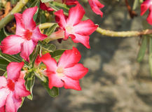 Pink topical flowers. Close up to pink flowers on blurred background;impala lily;desert rose Royalty Free Stock Photography