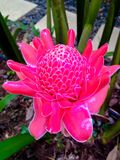 Pink torch ginger Royalty Free Stock Images