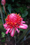 Pink Torch Ginger flower Royalty Free Stock Photography