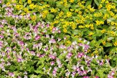 Pink torenia fournieri flower Stock Photo