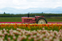 The Pink Tractor. At Wooden Shoe Tulip Festival in Woodburn Oregon royalty free stock photo