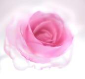 Pink transperent rose stock images