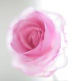 Pink transperent rose Stock Image