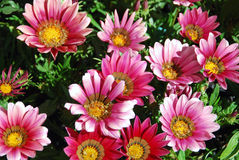 Pink treasure flowers Royalty Free Stock Photography