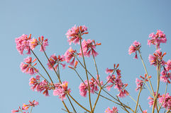 Pink Tree In Bloom against blue sky Stock Photos