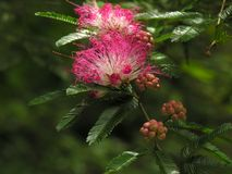 Pink tree blooms. A pink fluffy tree bloom or blossom Stock Photos