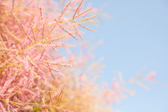 Pink tree blossom on blue sky background, Royalty Free Stock Photos