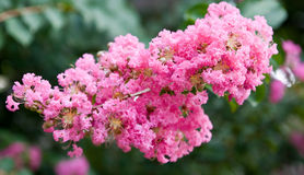 Pink Tree Blossoms Royalty Free Stock Photography
