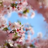 Pink tree blossoms blooming in spring Royalty Free Stock Image