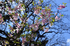 Pink tree blossoms in spring. Pink tree blossoms in the town garden in spring in bright blue sky Royalty Free Stock Photography