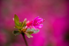 Pink Tree Blossom on Pink Background Royalty Free Stock Photo