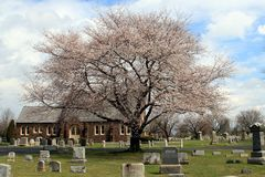 Pink Tree in Cemetery royalty free stock image