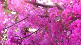 Pink tree in daylight, branches of spring flowering tree, fruit tree, slow motion. Pink tree in daylight, branches of spring flowering tree, decorative apple stock footage