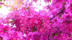 Pink tree in daylight, branches of spring flowering tree, fruit tree, slow motion. Pink tree in daylight, branches of spring flowering tree, decorative apple stock video footage