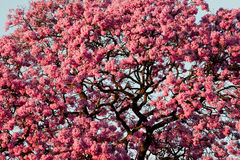 Pink tree flowers Stock Image