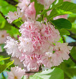 Pink tree flowers of Prunus serrulata Kanzan, branch flowers, japanese cherry, floral background, close up Stock Images