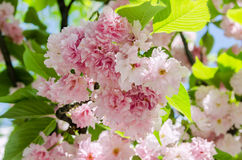 Pink tree flowers of Prunus serrulata Kanzan, branch flowers, japanese cherry, floral background, close up Stock Image