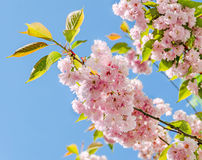 Pink tree flowers of Prunus serrulata Kanzan, branch flowers, japanese cherry, floral background, close up Royalty Free Stock Photos