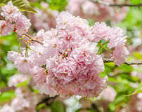 Pink tree flowers of Prunus serrulata Kanzan, branch flowers, japanese cherry, floral background, close up Royalty Free Stock Images