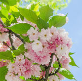 Pink tree flowers of Prunus serrulata Kanzan, branch flowers, japanese cherry, floral background, close up Royalty Free Stock Photography