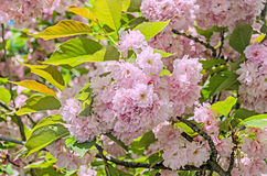 Pink tree flowers of Prunus serrulata Kanzan, branch flowers, japanese cherry, green background, close up Stock Photos