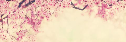Pink tree flowers, spring blossom Royalty Free Stock Photos