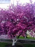 Pink tree in full blossom, the sign of spring in Kiev. Pink tree in its full blossom in Kiev. Spring is one of the best seasons of the year. The tree looks Stock Photography