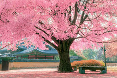 Pink tree in Gyeongbokgung. Stock Photo