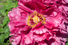 Pink tree peony flower in full bloom Royalty Free Stock Photo