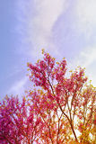 Pink tree in spring Royalty Free Stock Photo