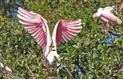 Pink Tropical Flamingo Bird Stretches her Wings Royalty Free Stock Photography