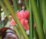 Pink tropical flower. Beautiful pink tropical Hawaiian flower Royalty Free Stock Photos