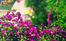 Pink tropical flowers Stock Photography