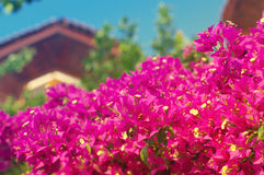 Pink tropical flowers of a bougainvillea in soft warm colors. Stock Photo