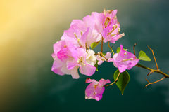Pink tropical flowers. Branch of tropical flowers Royalty Free Stock Images
