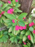 Pink tropical garden flowers in garden stock photos