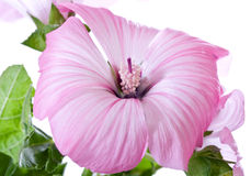 Pink tropical hibiscus flower Stock Image