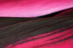 Pink Tropical leaf. Closeup on on green and pink tropical leaf Royalty Free Stock Photography