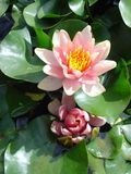 Pink tropical water lily. Pink water lily surrounded by green lily pad leaves Royalty Free Stock Photography