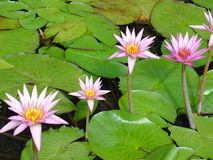 Pink tropical water lily's. In water garden Stock Photo