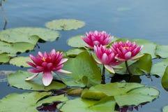 Pink tropical waterlily. Pink exotic waterlilies blooming in pond Royalty Free Stock Image