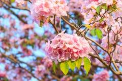 Pink trumpet flower ot tatebuia rosea Royalty Free Stock Image