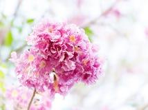 Pink trumpet flower or tatebuia rosea Stock Images